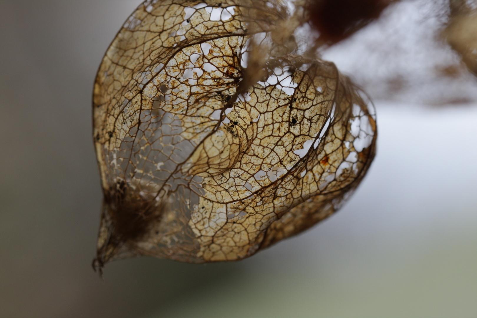 Lampionplant