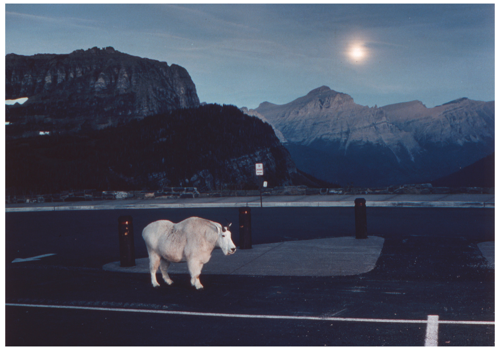 Animal Series Mt. Goat parking lot.jpg