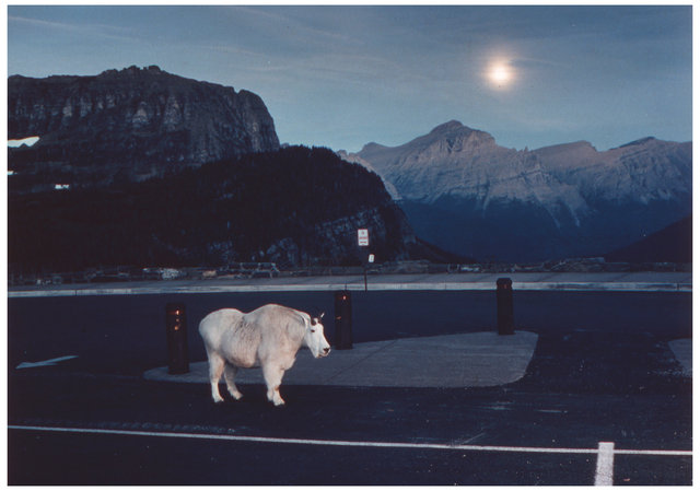 Animal Series Mt. Goat parking lot.jpg