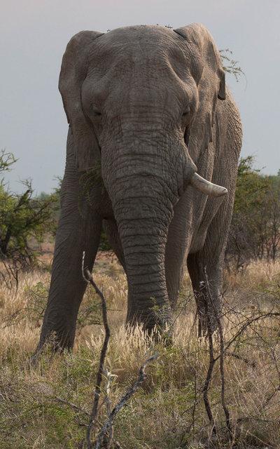 Elephant, lonely bull