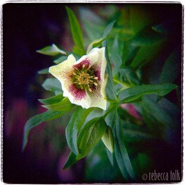 05-05-01-10 Lenten Rose.jpg