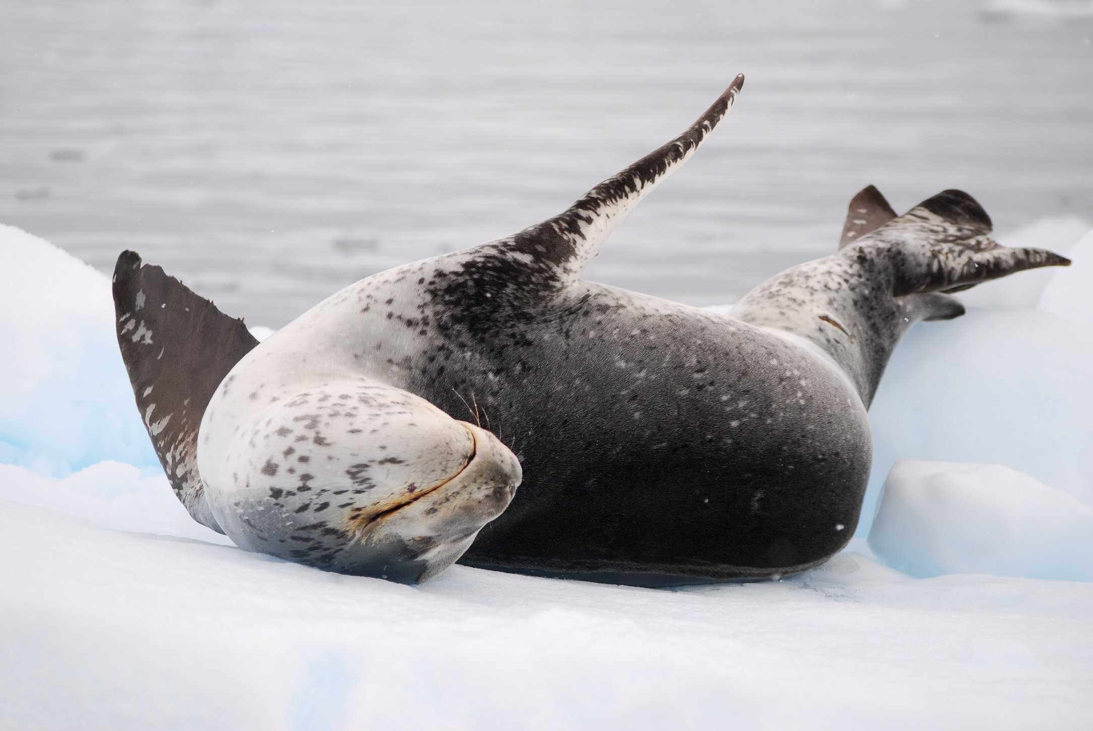 Leapord Seal on ice flow-Antarctica.jpg