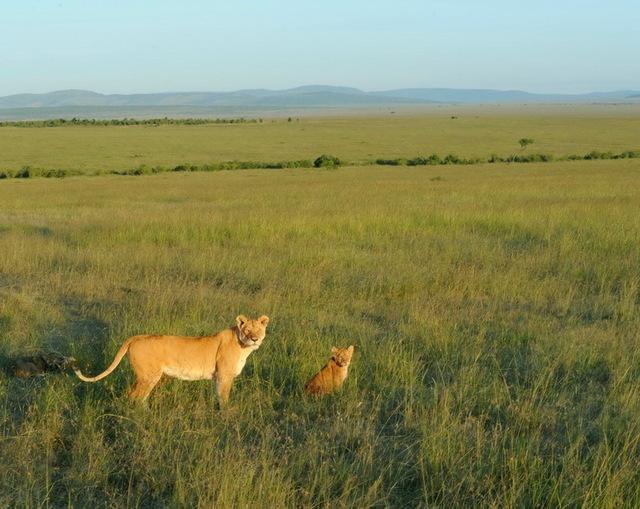Lioness with Cub, Masia Mara