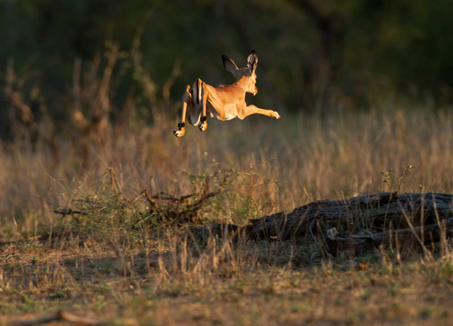 Leaping baby impala