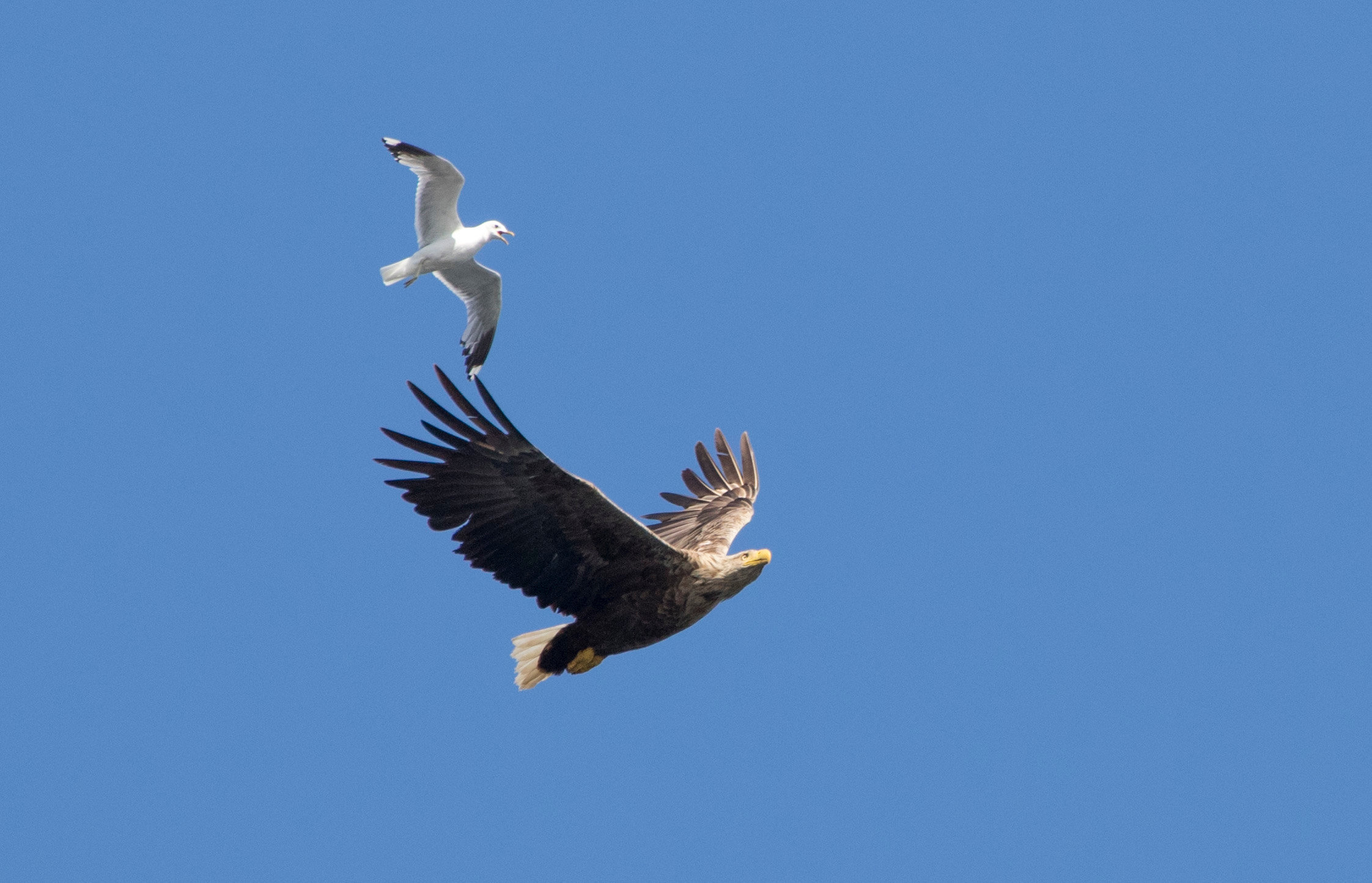 White-tailed eagle and gull