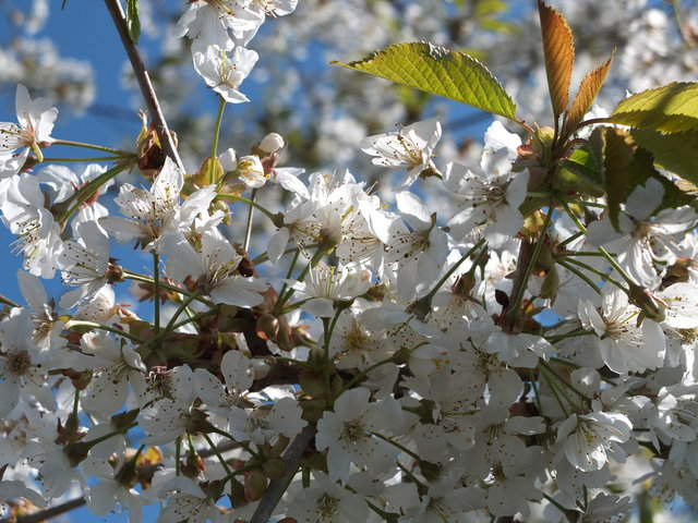 White Blossom 10 by Alison Gracie