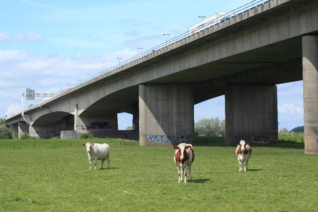 viaduct met koeien