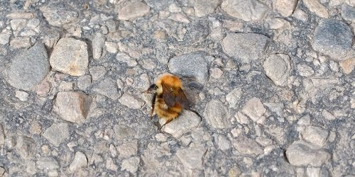 Resting Common Carder Bee by Alison Gracie