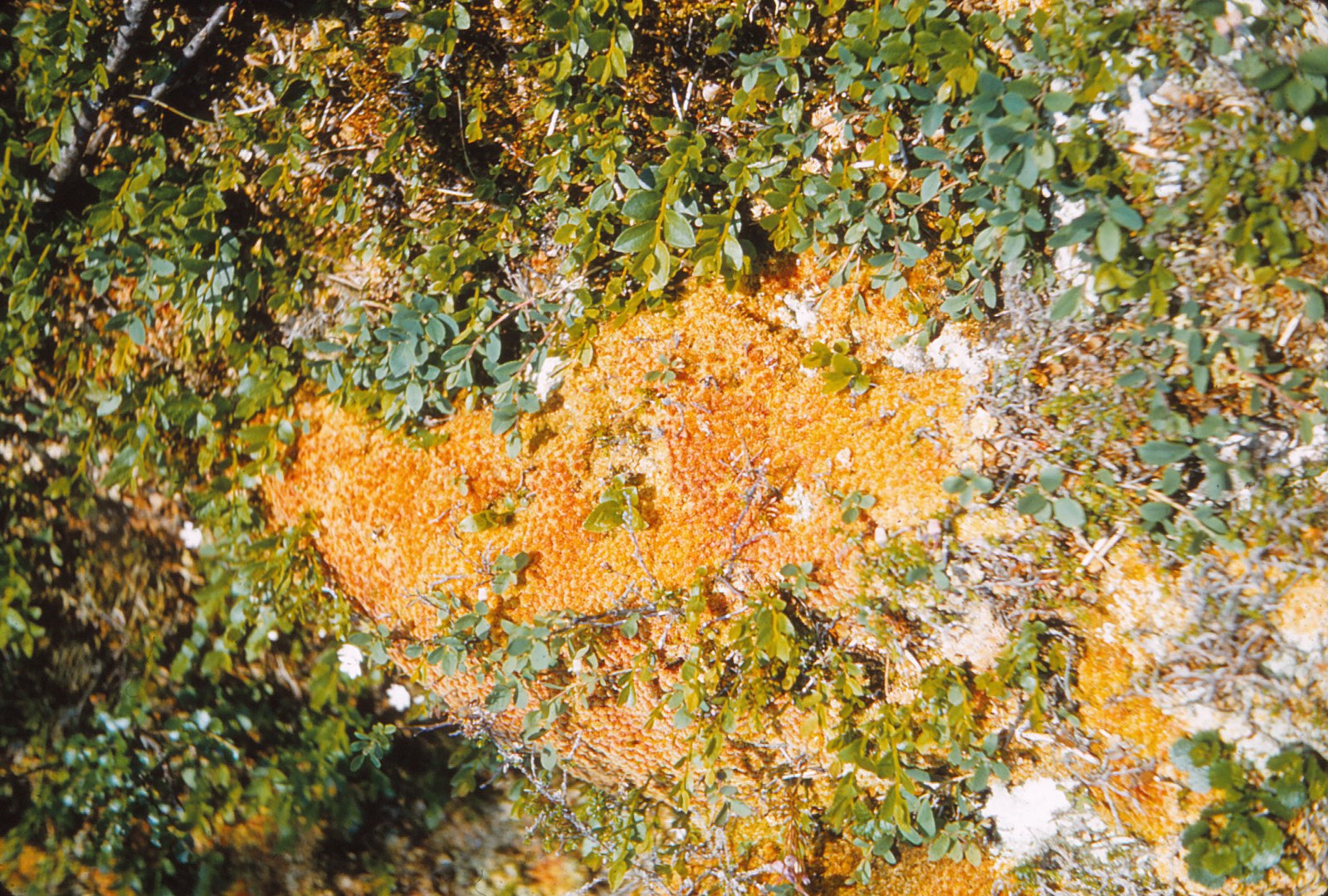985 (21) Sphagnum rubellum