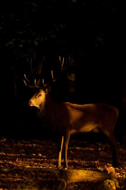 Red Deer Stag