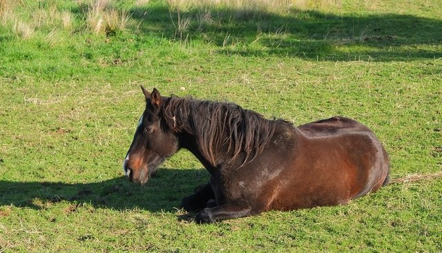 Resting Horse by Ali Gracie