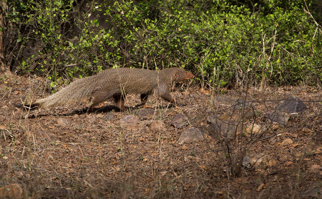 Black-tailed Mongoose