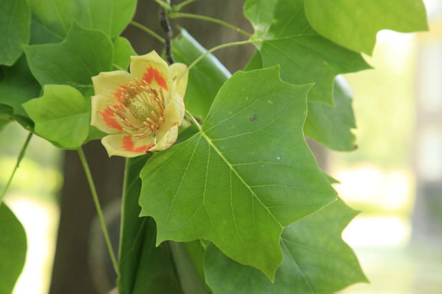 tulpenboom bloem en blad