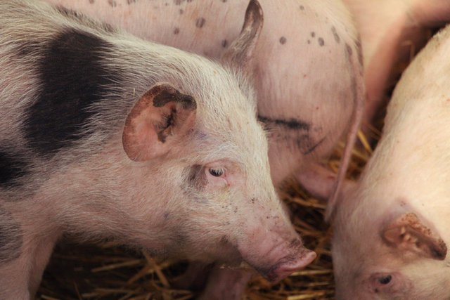 Gloucester Old Spot Pigs, Monmouthshire Livestock Centre.jpg