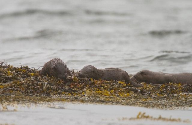 Otter cubs feeding