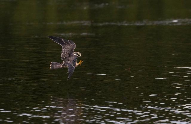 Hobby chasing dragonfly