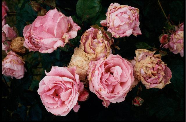 Pink Roses.2012.rtp.jpg
