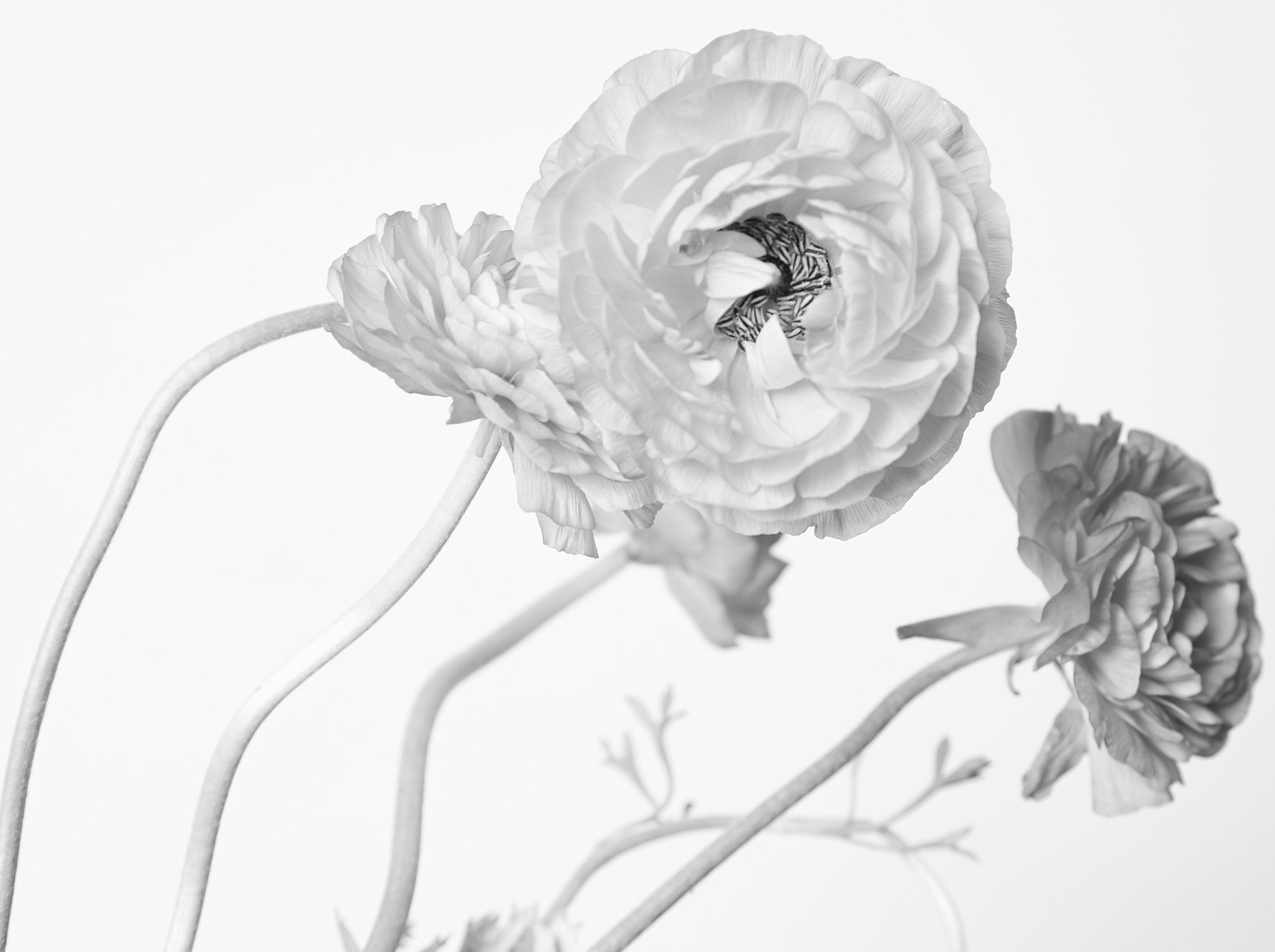 ranunculus4436_cropped copy.jpg