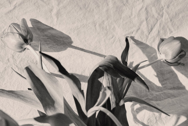 Tulip0131.jpg