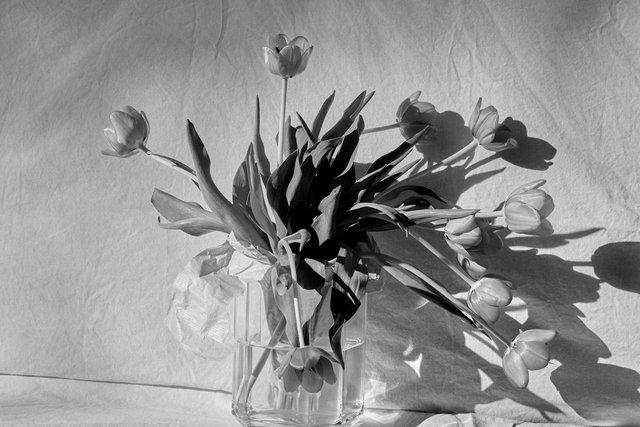 Tulip0105-1.jpg