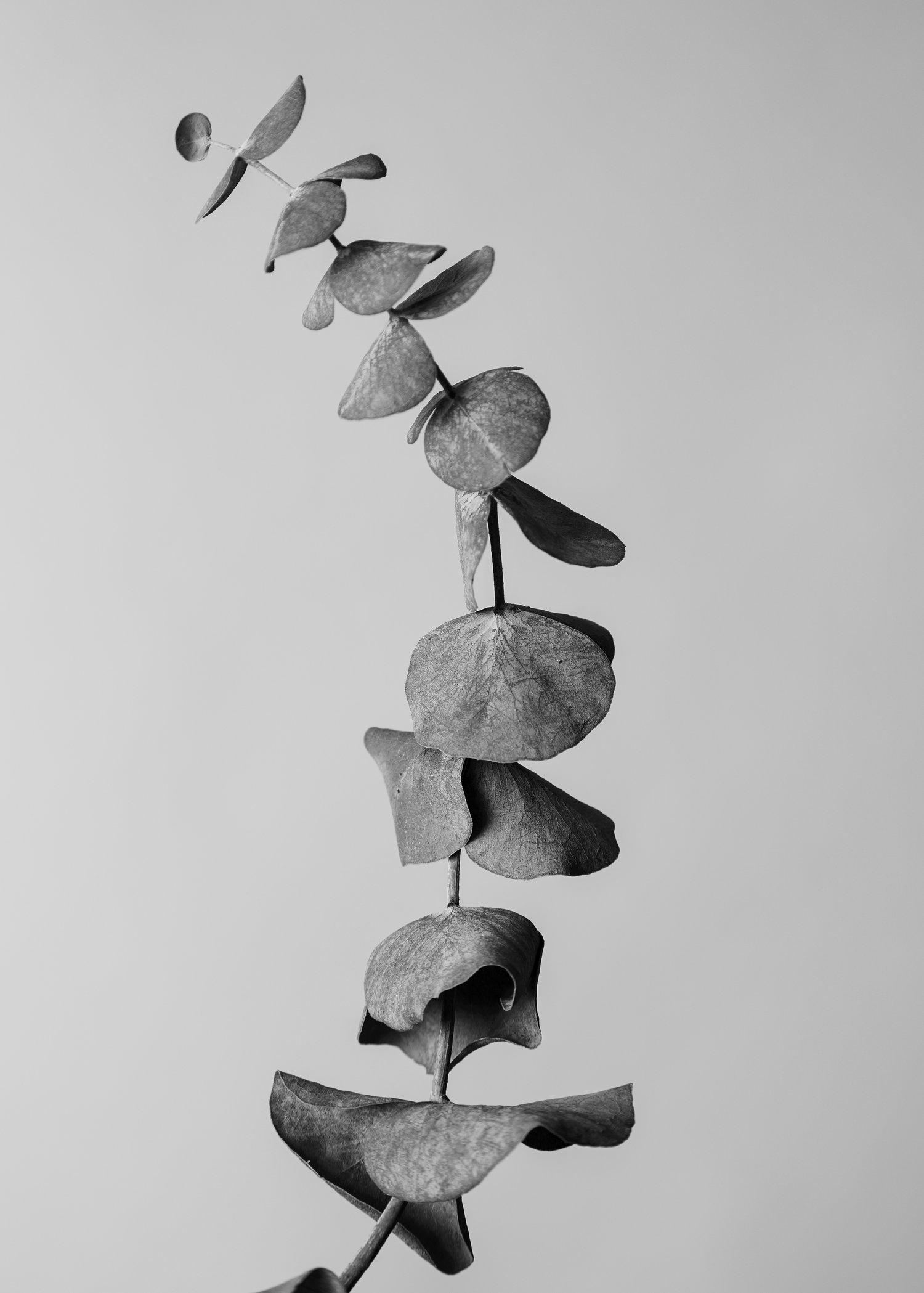 Eucalyptus-1.jpg