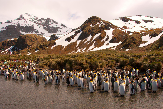 King Penguin,  South Georgia Island.