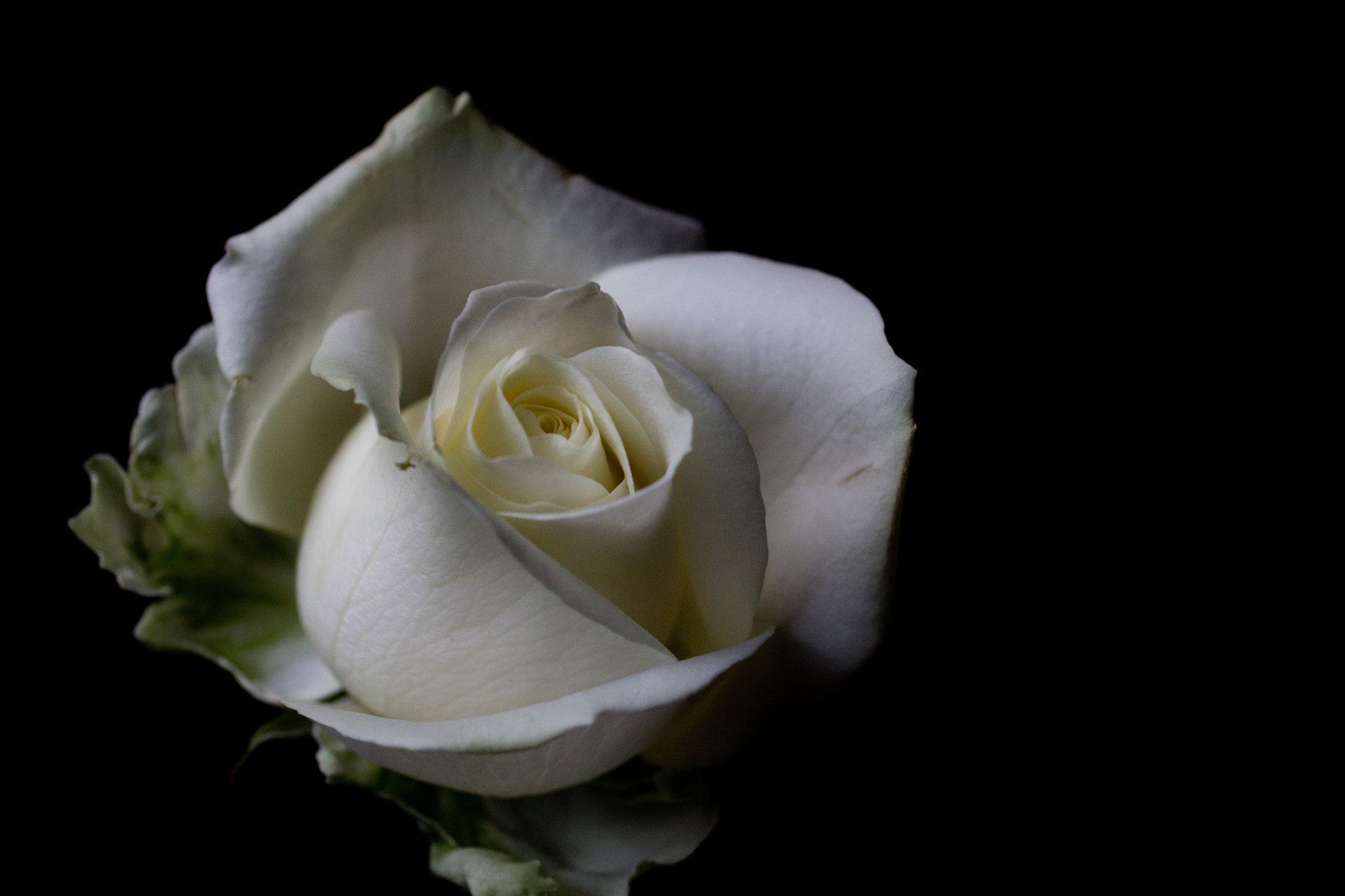 Rose_8059864586_o.jpg