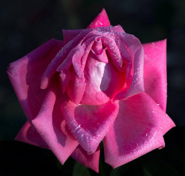 RosebudDay6Frost_DSC8365-as-Smart-Object-1.jpg