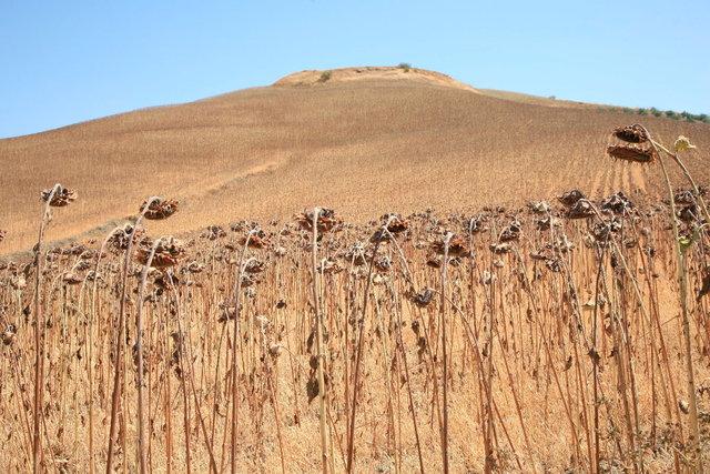 andalucia - veld gedroogde zonnebloemen