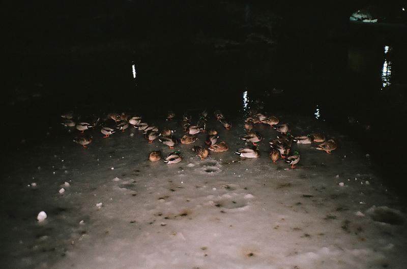 canards sur la galce - central park.jpg
