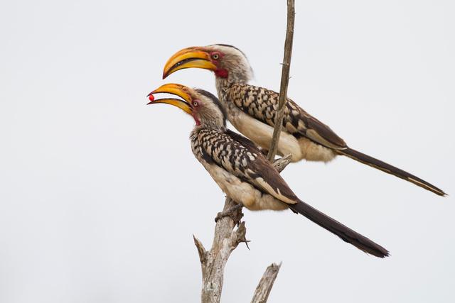 Female Yellow-billed Hornbill receiving gift from