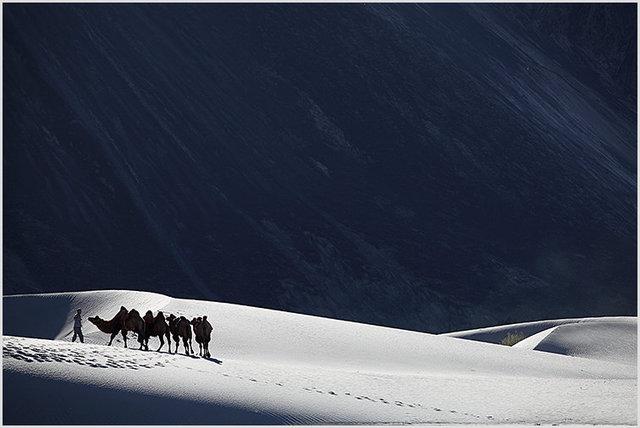 bactrian camels hunder 1