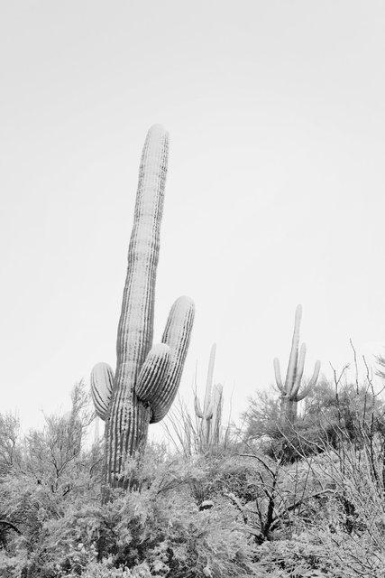 Snowy Saguaro West I