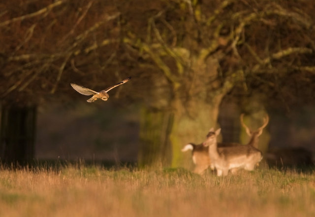 Short-eared Owl and Fallow deer