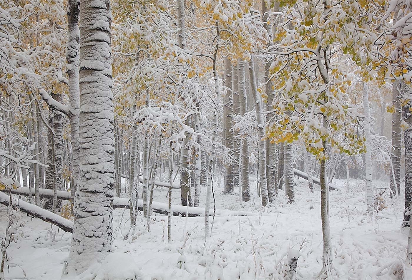 Aspens, October Blizzard