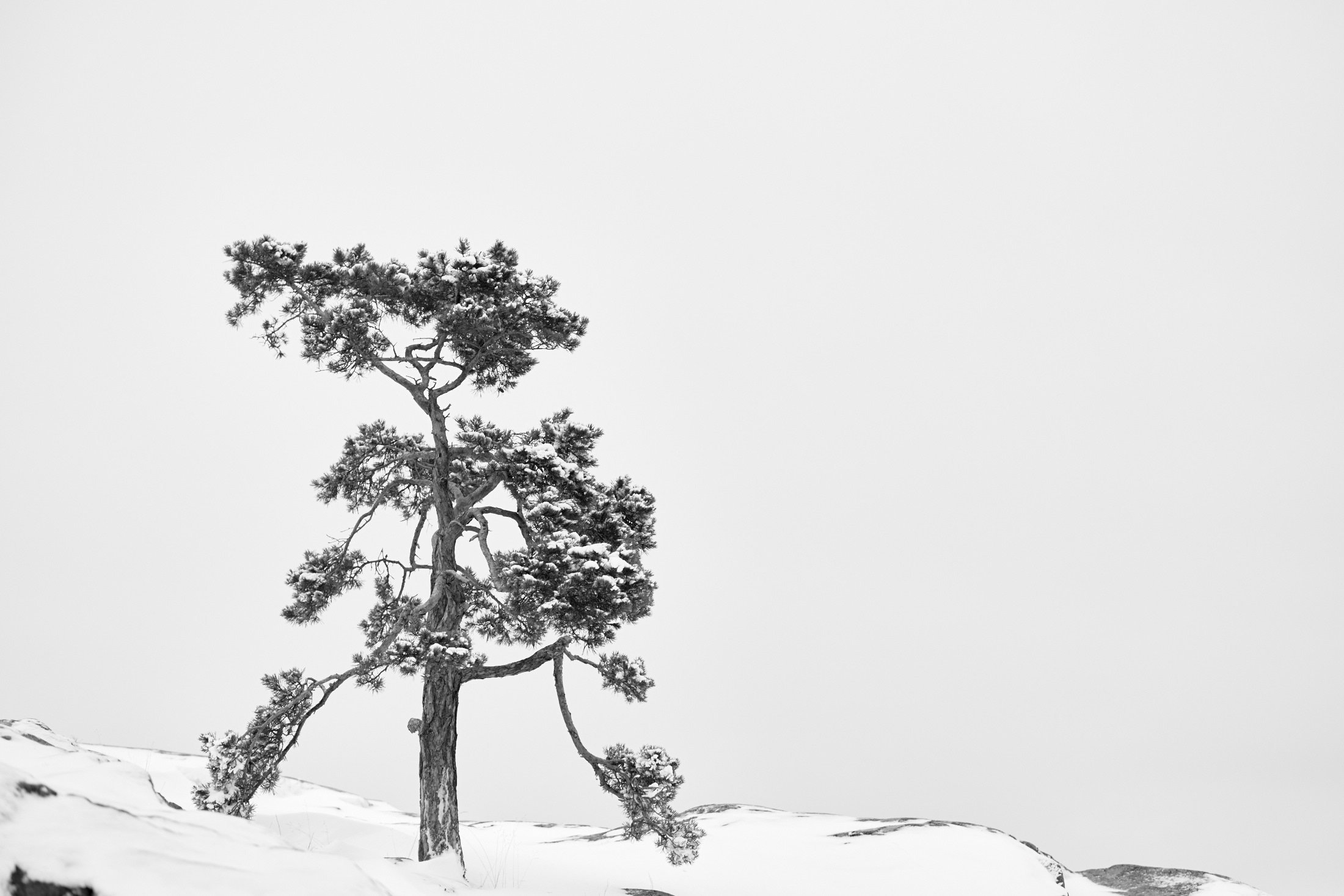 The Pine Tree - Winter