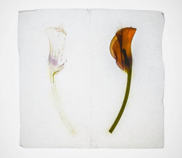 calla lily 2