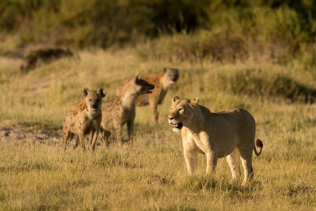 Kenia Lions54.jpg