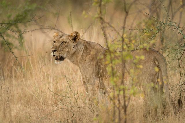 Kenia Lions19.jpg