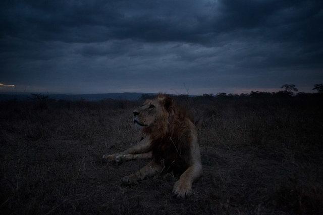 Kenia Lions36.jpg