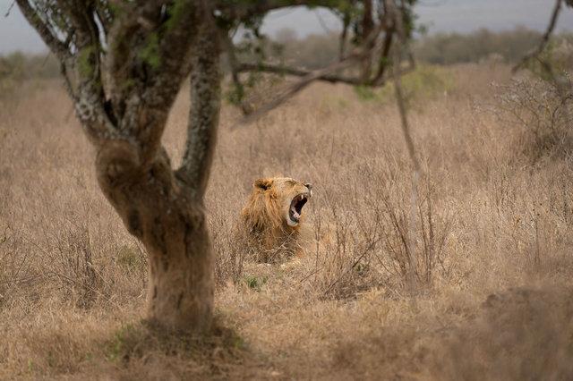 Kenia Lions27.jpg