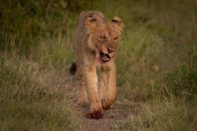 Kenia Lions53.jpg