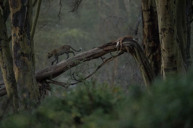 Kenia Lions41.jpg