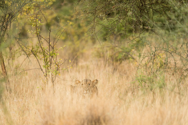 Kenia Lions18.jpg