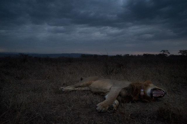 Kenia Lions35.jpg