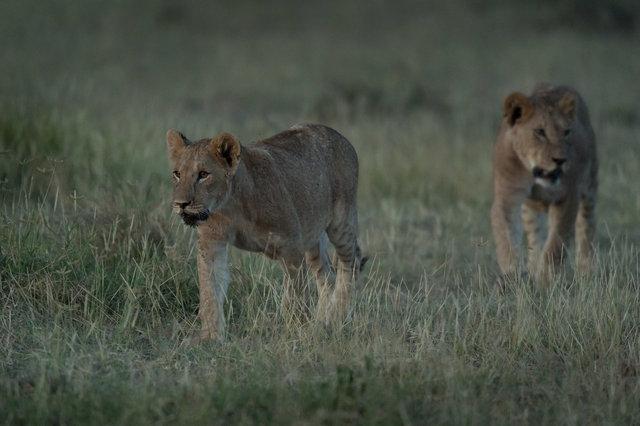 Kenia Lions47.jpg