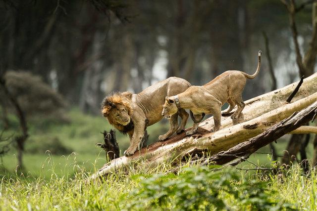 Kenia Lions08.jpg