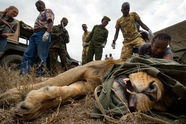 Kenia Lions31.jpg