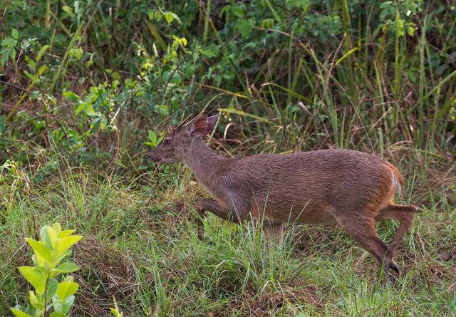 Brocket Deer