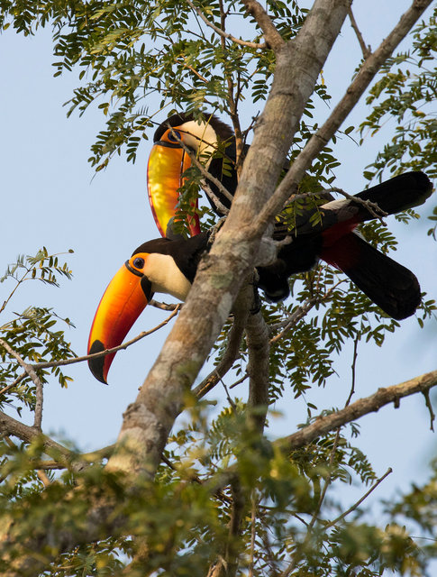 Toco Toucans mating